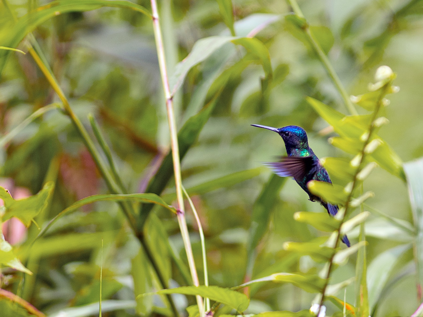 Blue-headed Hummingbird - Frantz Delcroix (Duzont)