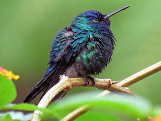 - Blue-headed Hummingbird