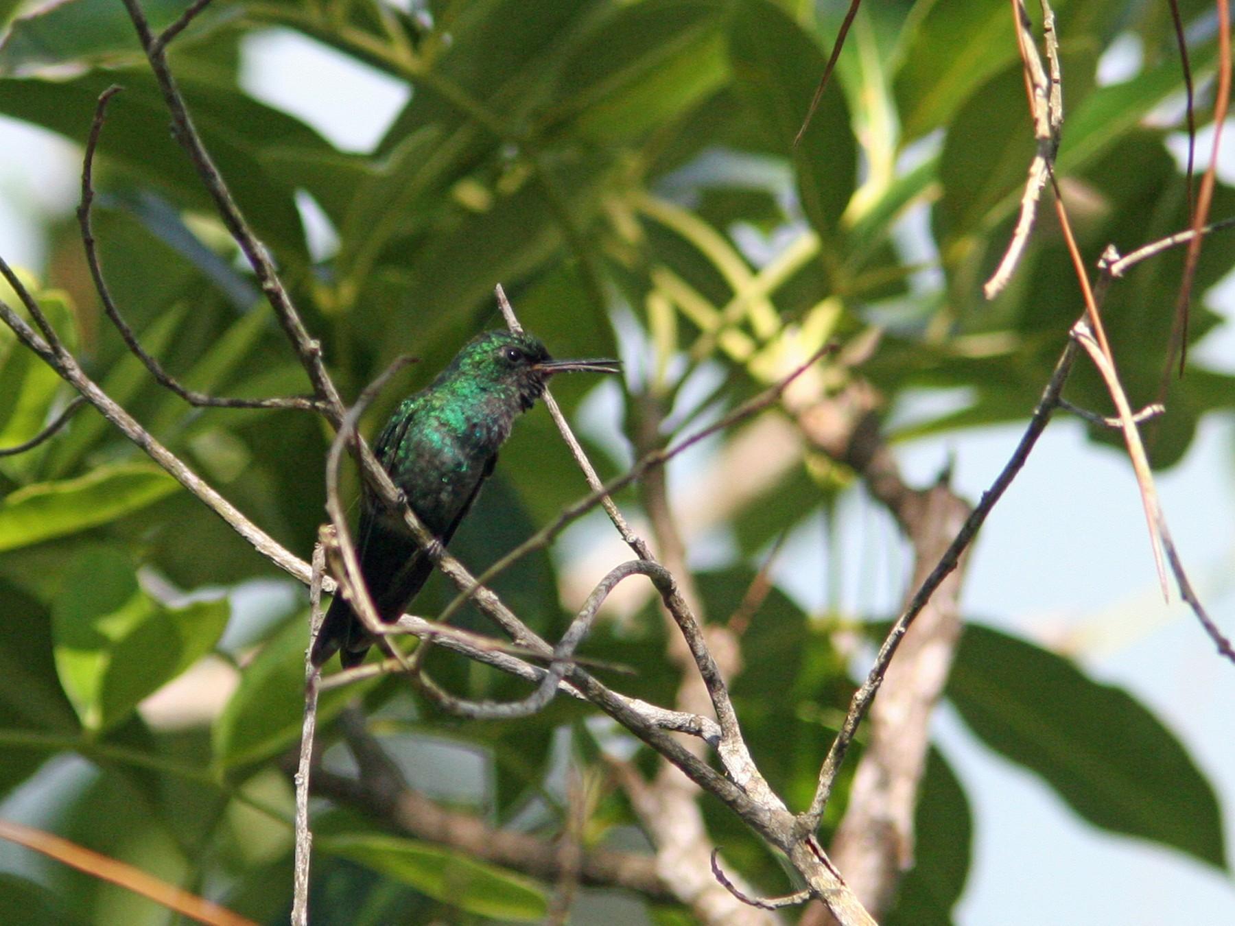 Puerto Rican Emerald - David Disher