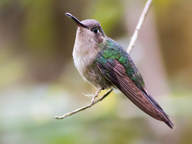 Hispaniolan Emerald - Juan Sangiovanni
