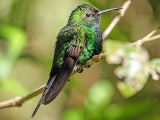 - Hispaniolan Emerald