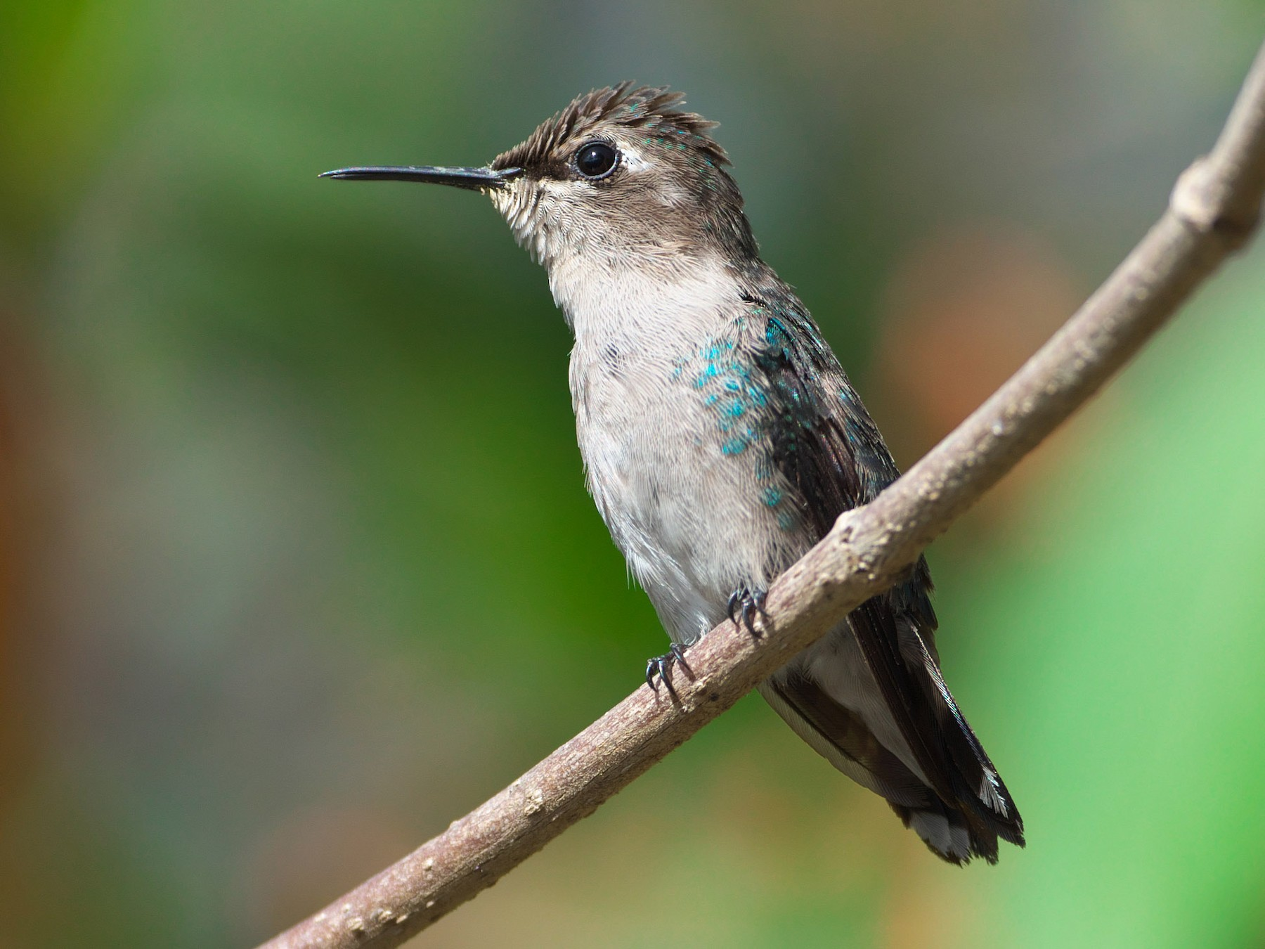 Bee Hummingbird - Paul Tavares