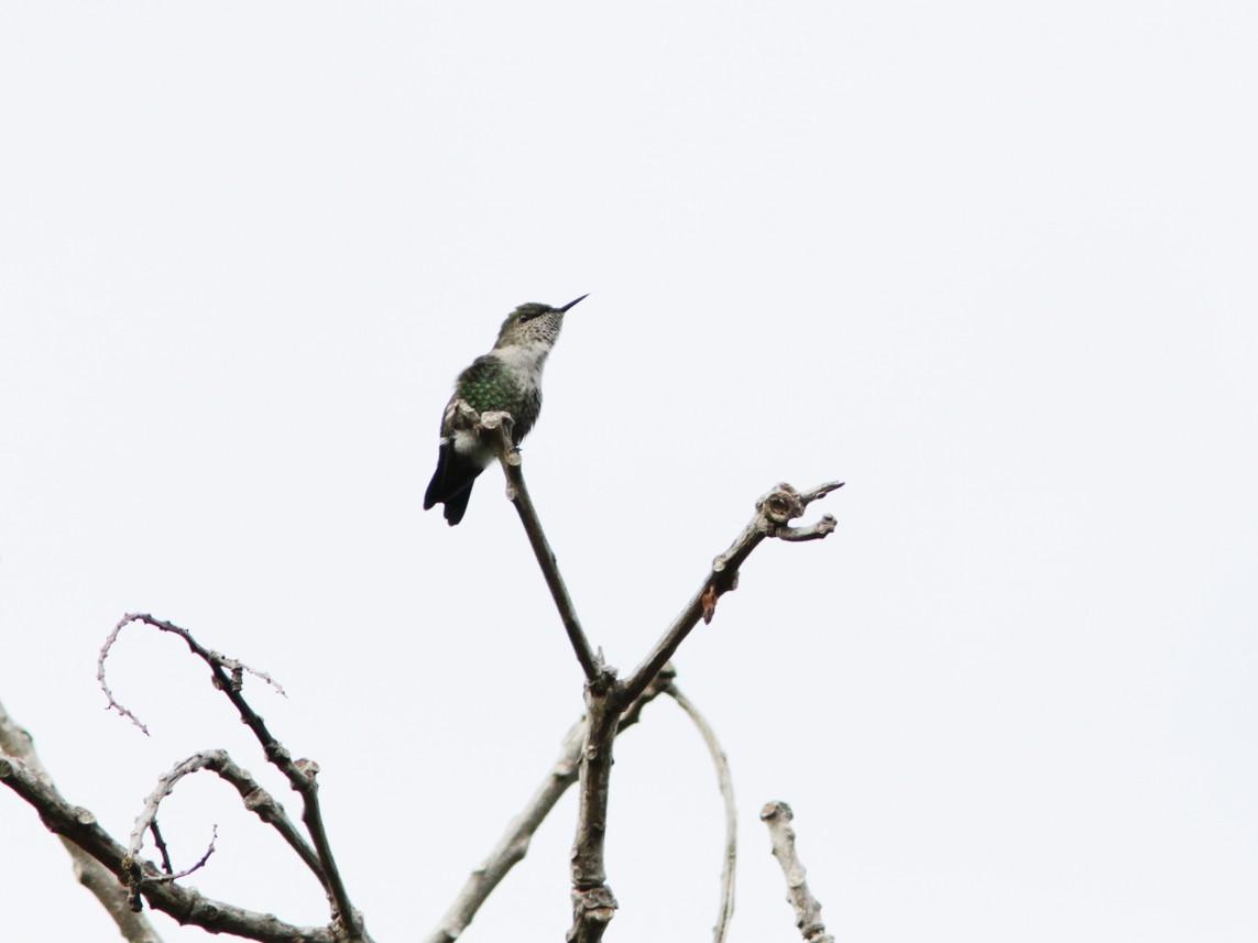 Vervain Hummingbird - Richard Dunn