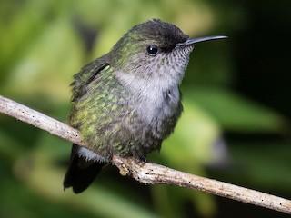 - Vervain Hummingbird