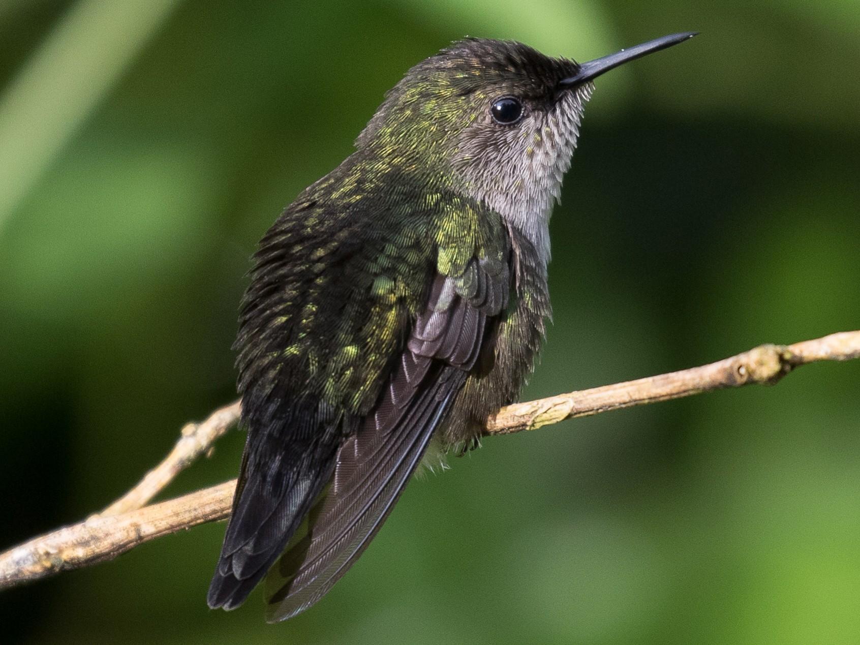 Vervain Hummingbird - Simon Best