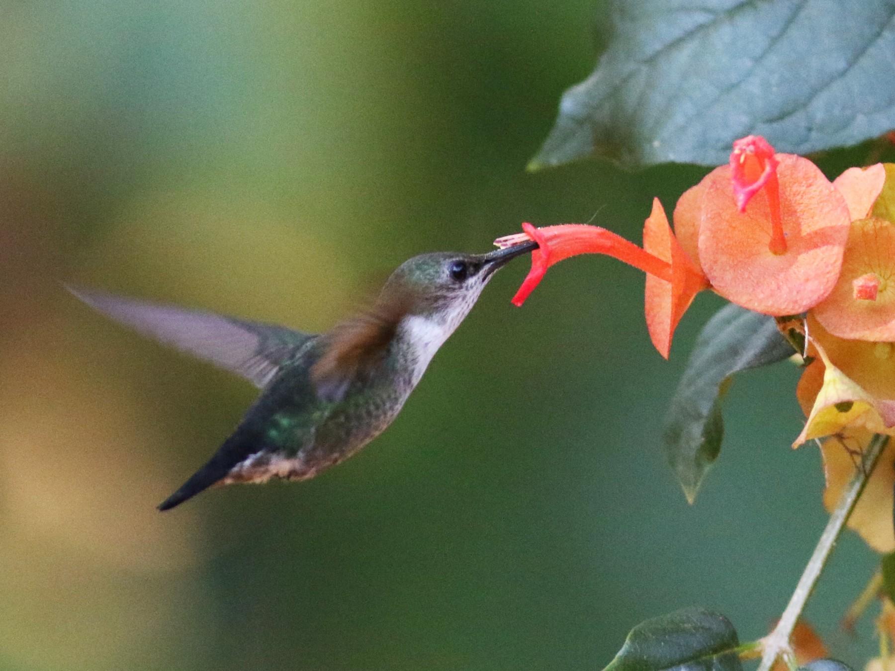 Vervain Hummingbird - John Sullivan