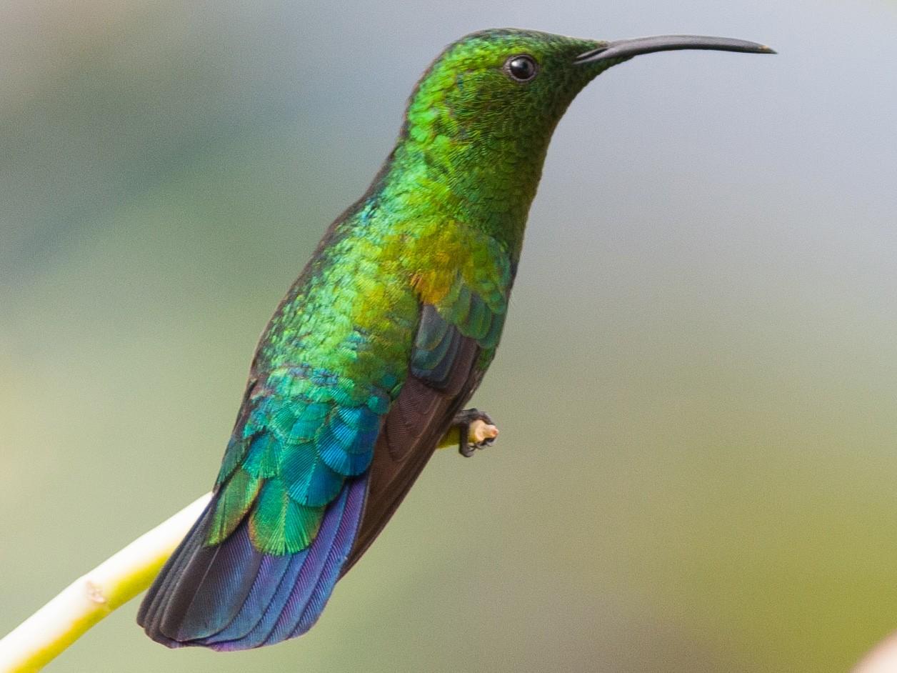 Green-throated Carib - Frantz Delcroix (Duzont)