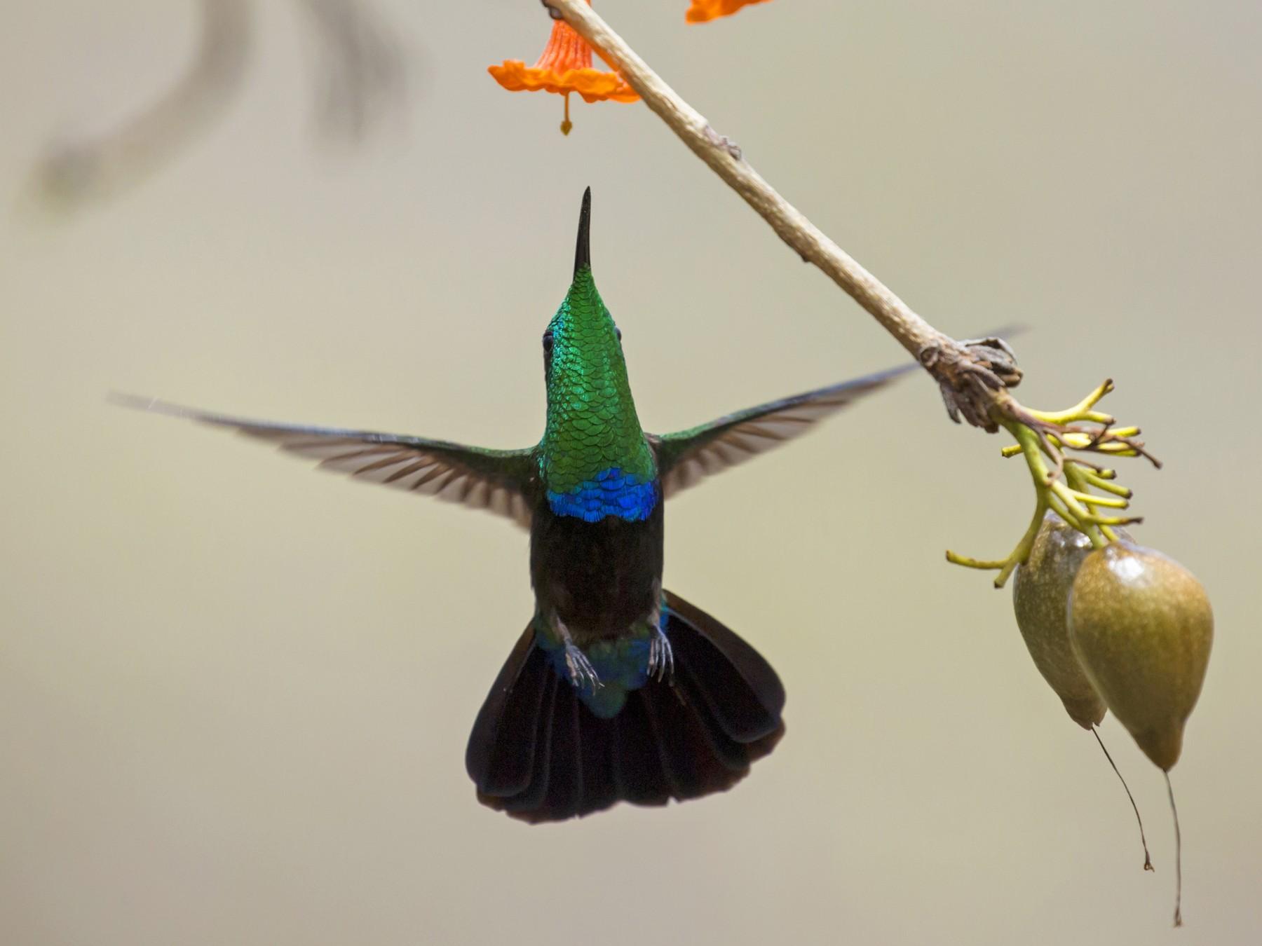 Green-throated Carib - David Turko