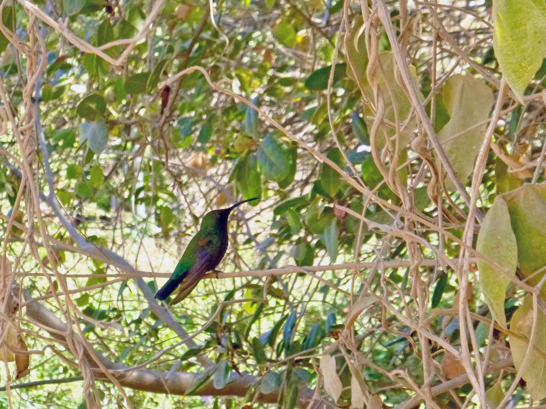 Green-throated Carib - Gary Douglas