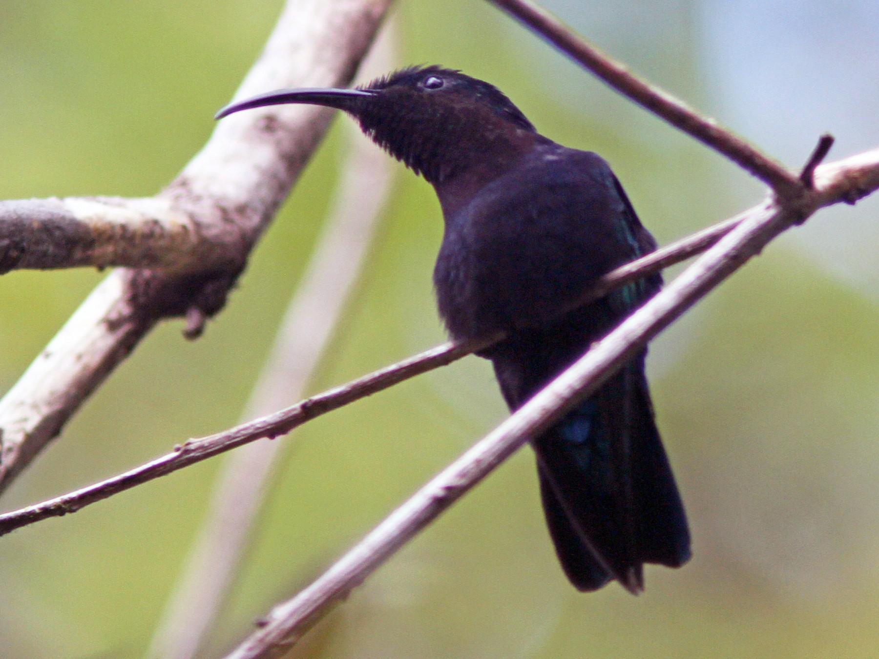 Purple-throated Carib - Larry Therrien