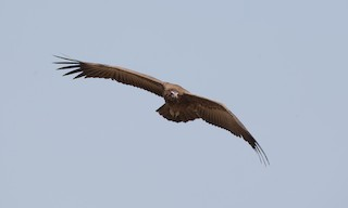 - Hooded Vulture