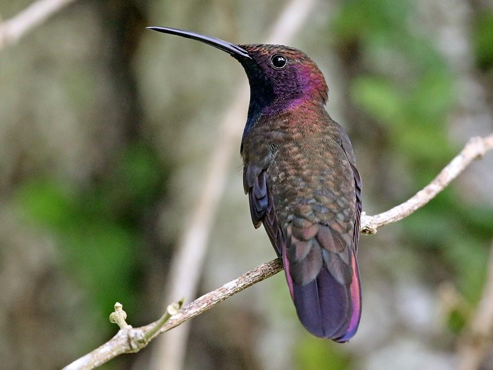 Jamaican Mango - Charley Hesse TROPICAL BIRDING