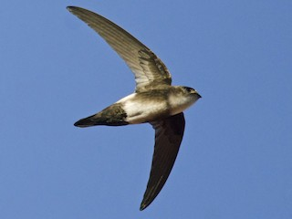 - Antillean Palm-Swift