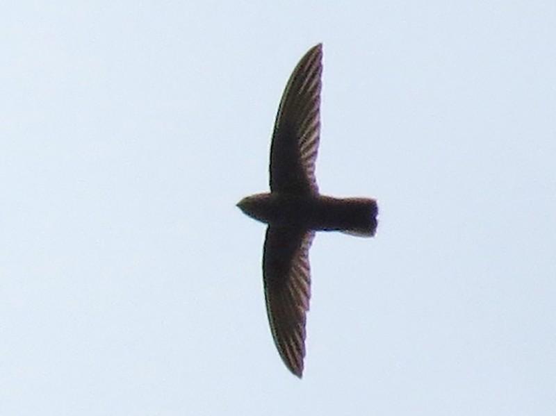 Lesser Antillean Swift - Steve  Semanchuk