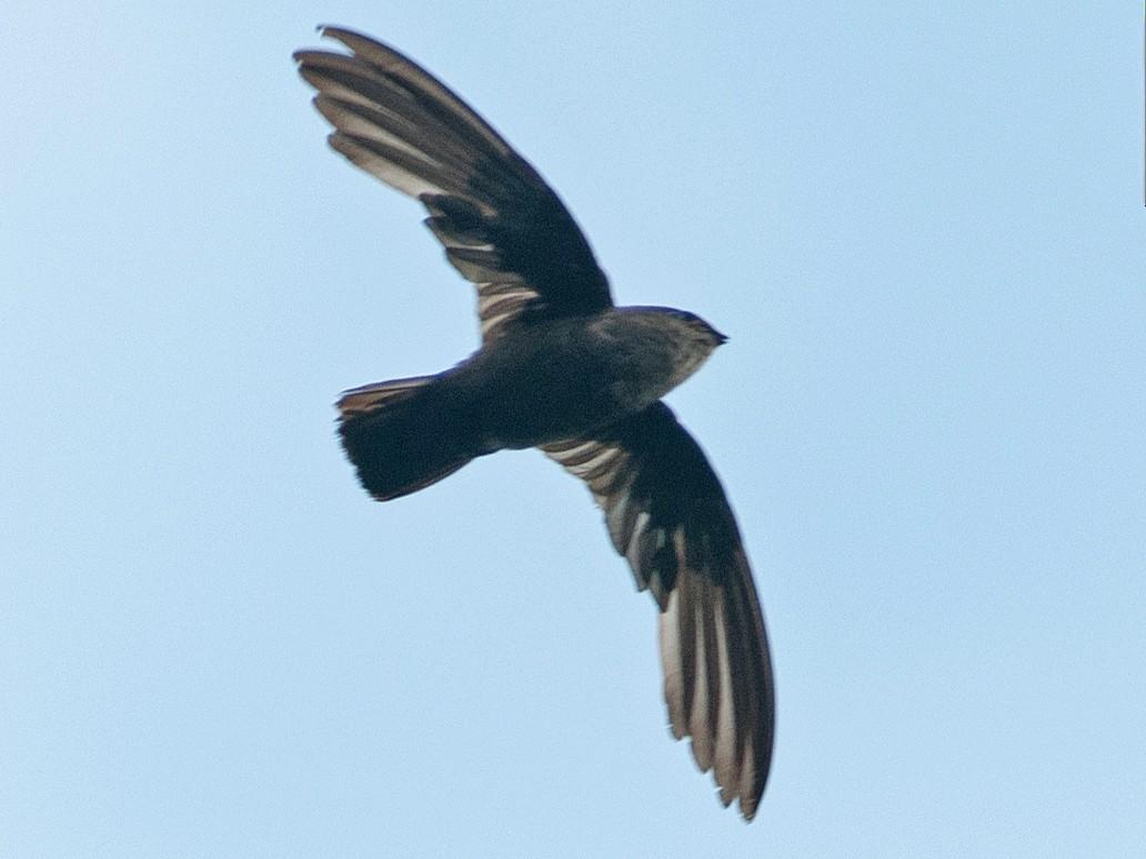 Lesser Antillean Swift - Frantz Delcroix (Duzont)