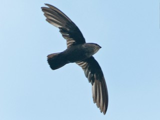 - Lesser Antillean Swift