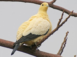 - Pied Imperial-Pigeon