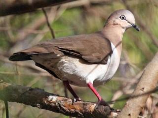 - Grenada Dove