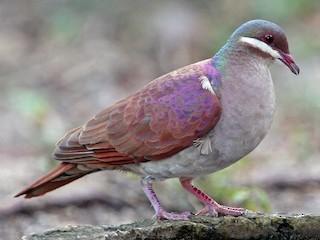 - Key West Quail-Dove