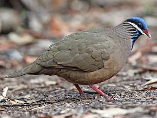- Blue-headed Quail-Dove