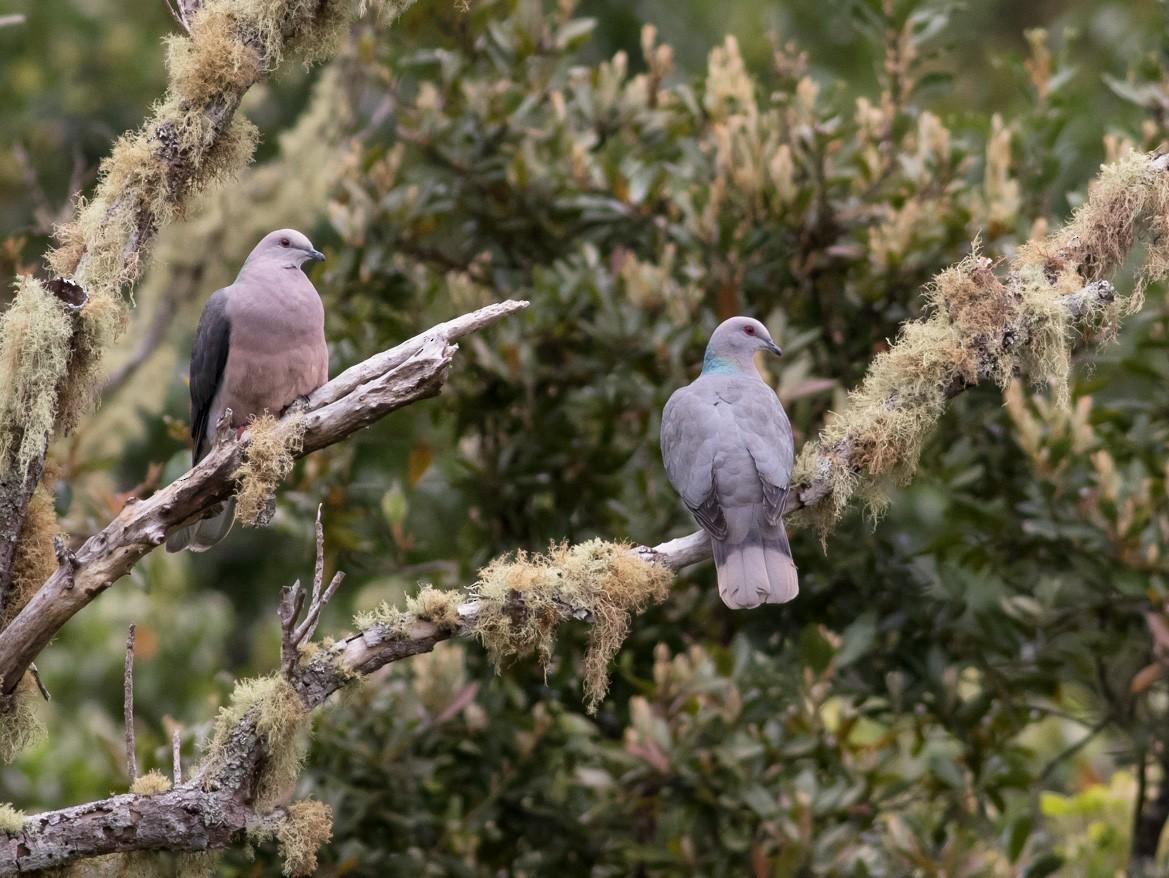Ring-tailed Pigeon - Tom Johnson