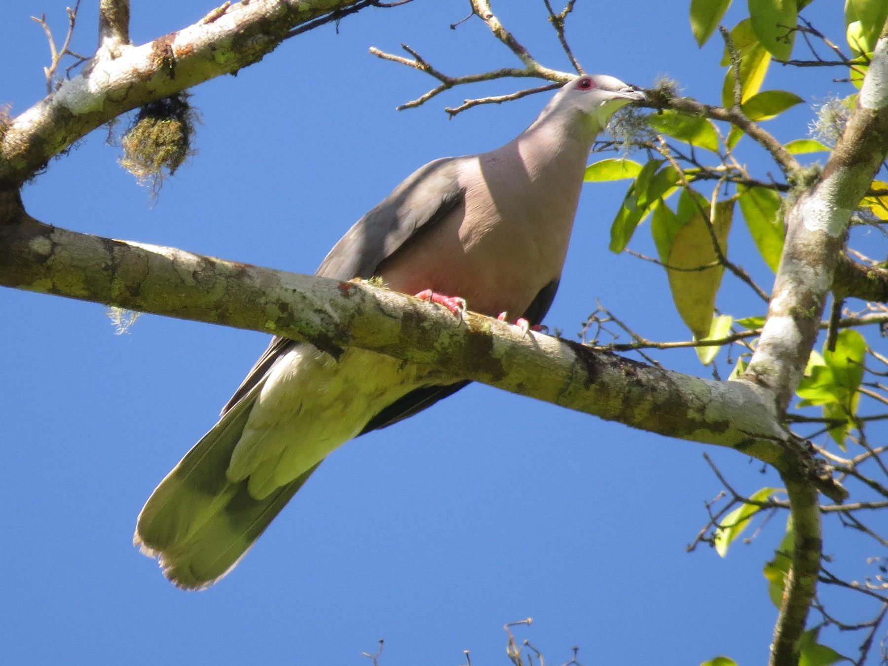 Ring-tailed Pigeon - Garrett MacDonald