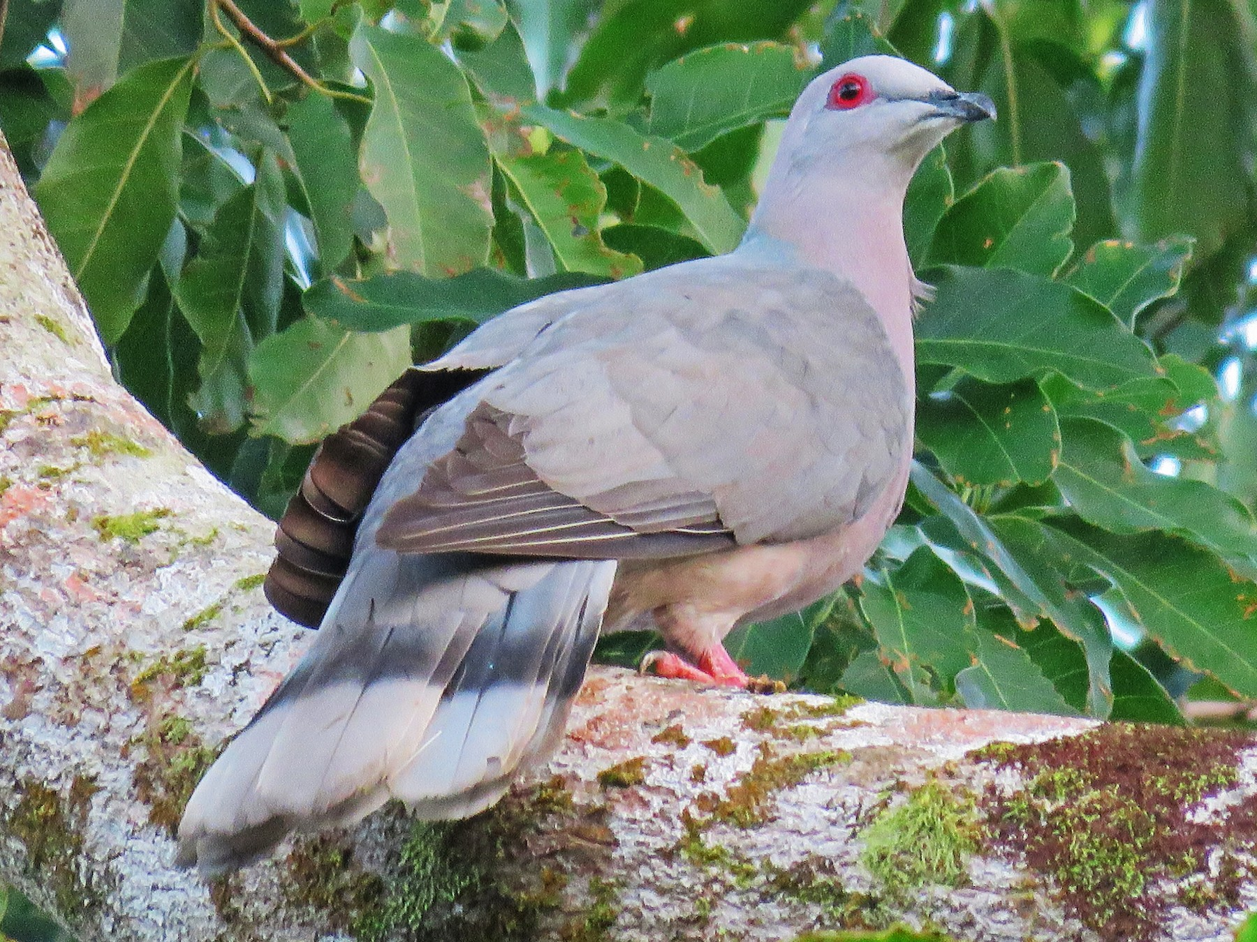 Ring-tailed Pigeon - Carla Bregman