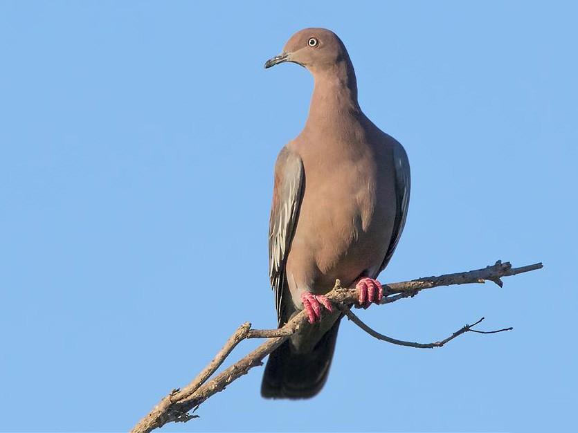 Plain Pigeon - Aslam Ibrahim Castellón Maure
