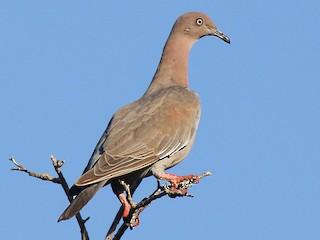 - Plain Pigeon