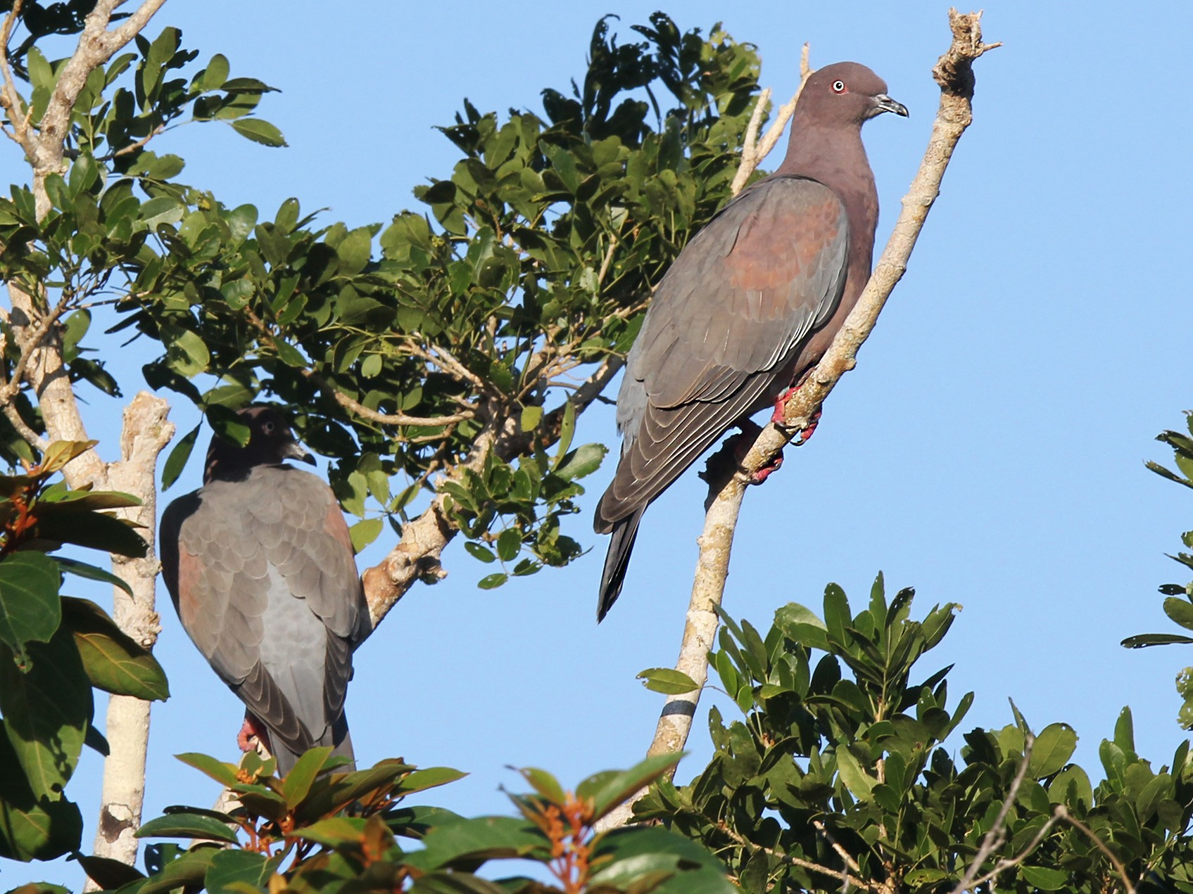 Plain Pigeon - Arturo Kirkconnell Jr