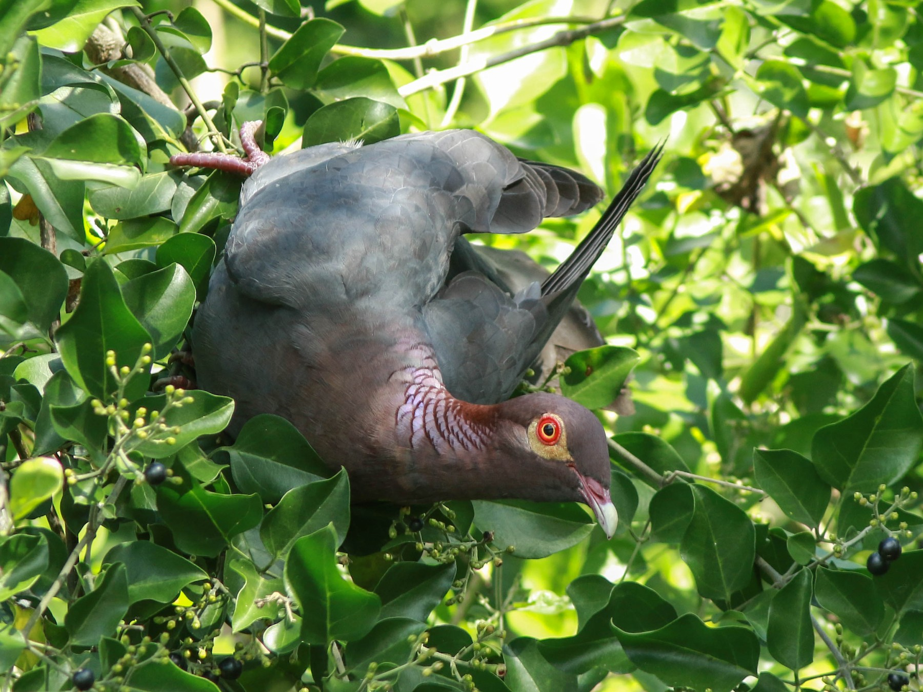 Scaly-naped Pigeon - Daniel Gagné