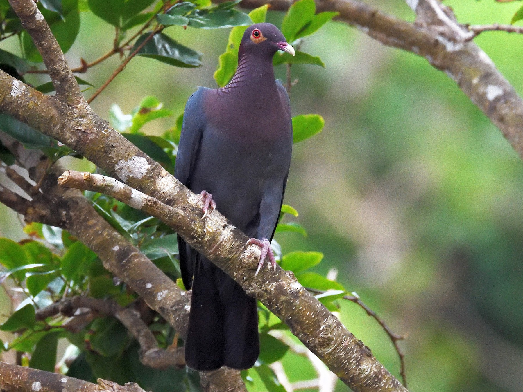 Scaly-naped Pigeon - terence zahner