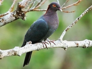 - Scaly-naped Pigeon
