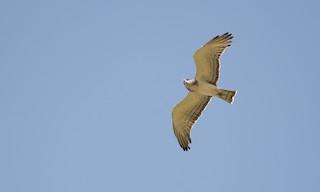 - Beaudouin's Snake-Eagle