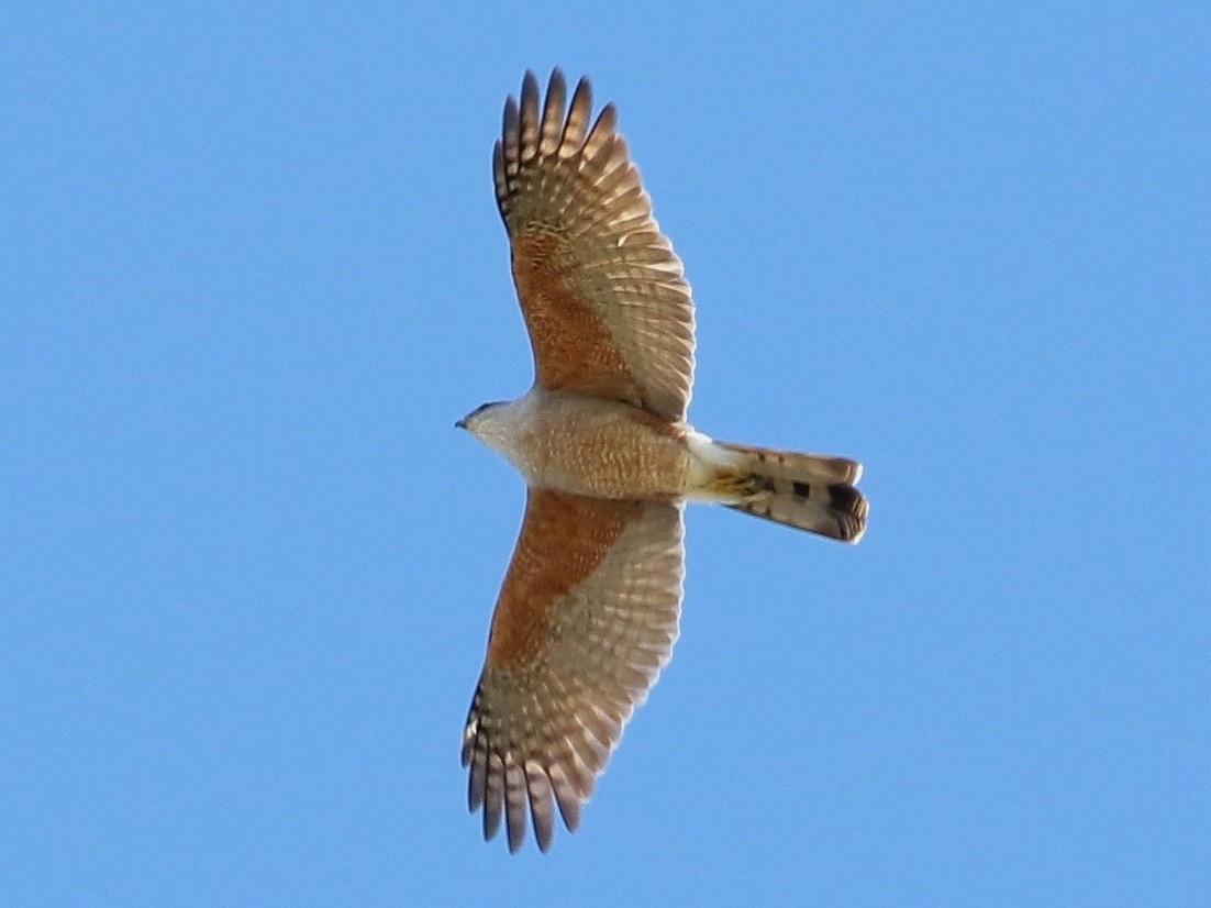 Gundlach's Hawk - Arco Huang