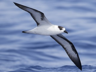 - Black-capped Petrel (White-faced)