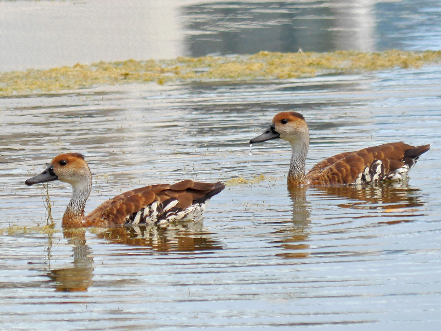West Indian Whistling-Duck - Grace Oliver