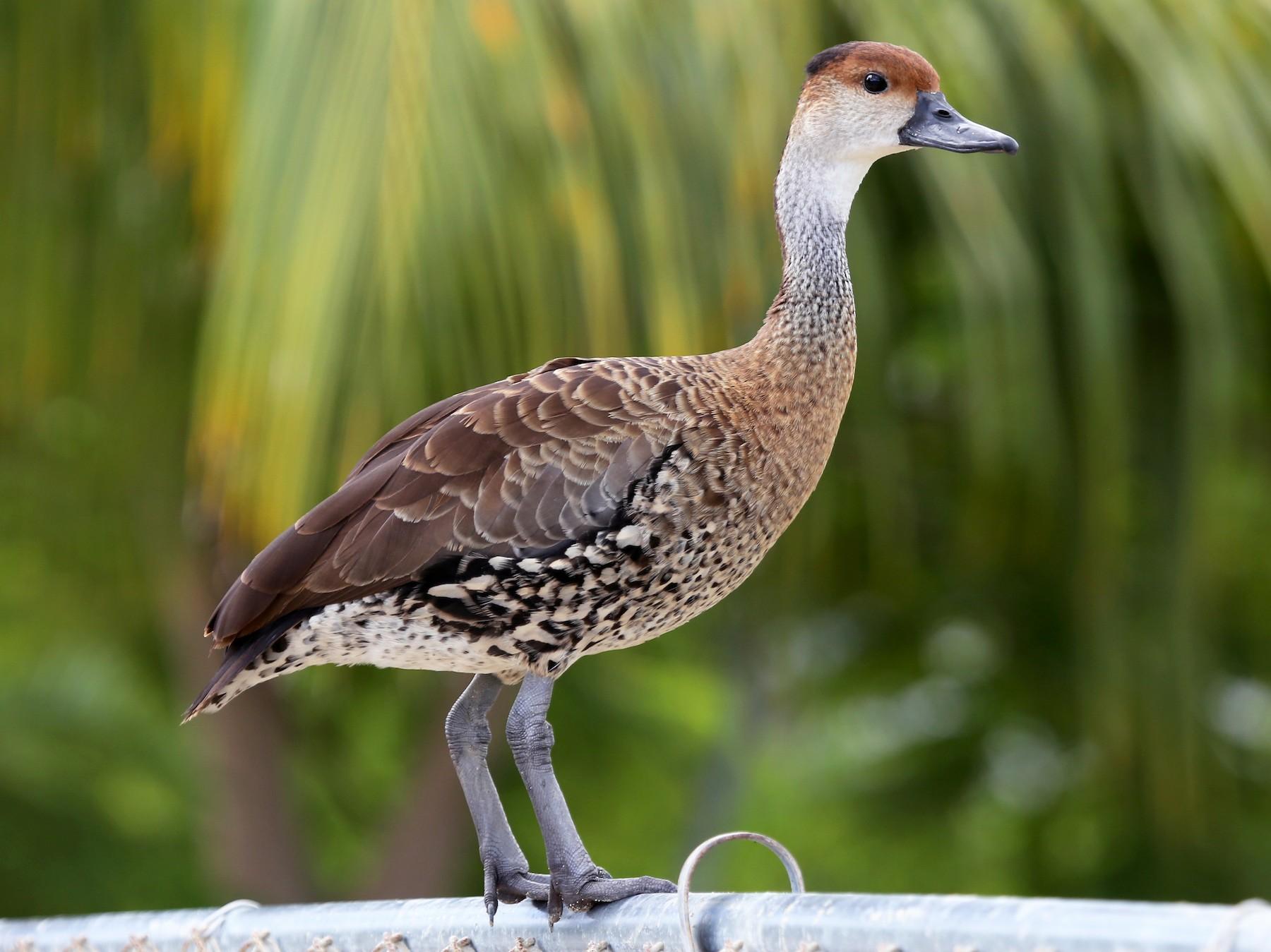 West Indian Whistling-Duck - Ceri James