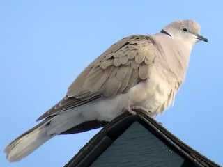 - African Collared-Dove