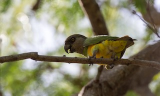 - Senegal Parrot