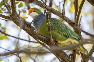 - Orange-fronted Fruit-Dove