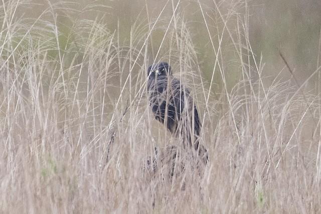 Papuan Marsh-Harrier