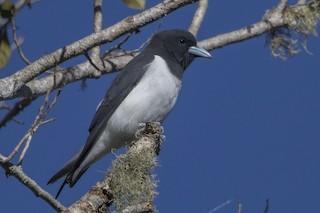 - Great Woodswallow