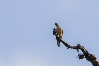 - Long-billed Cuckoo