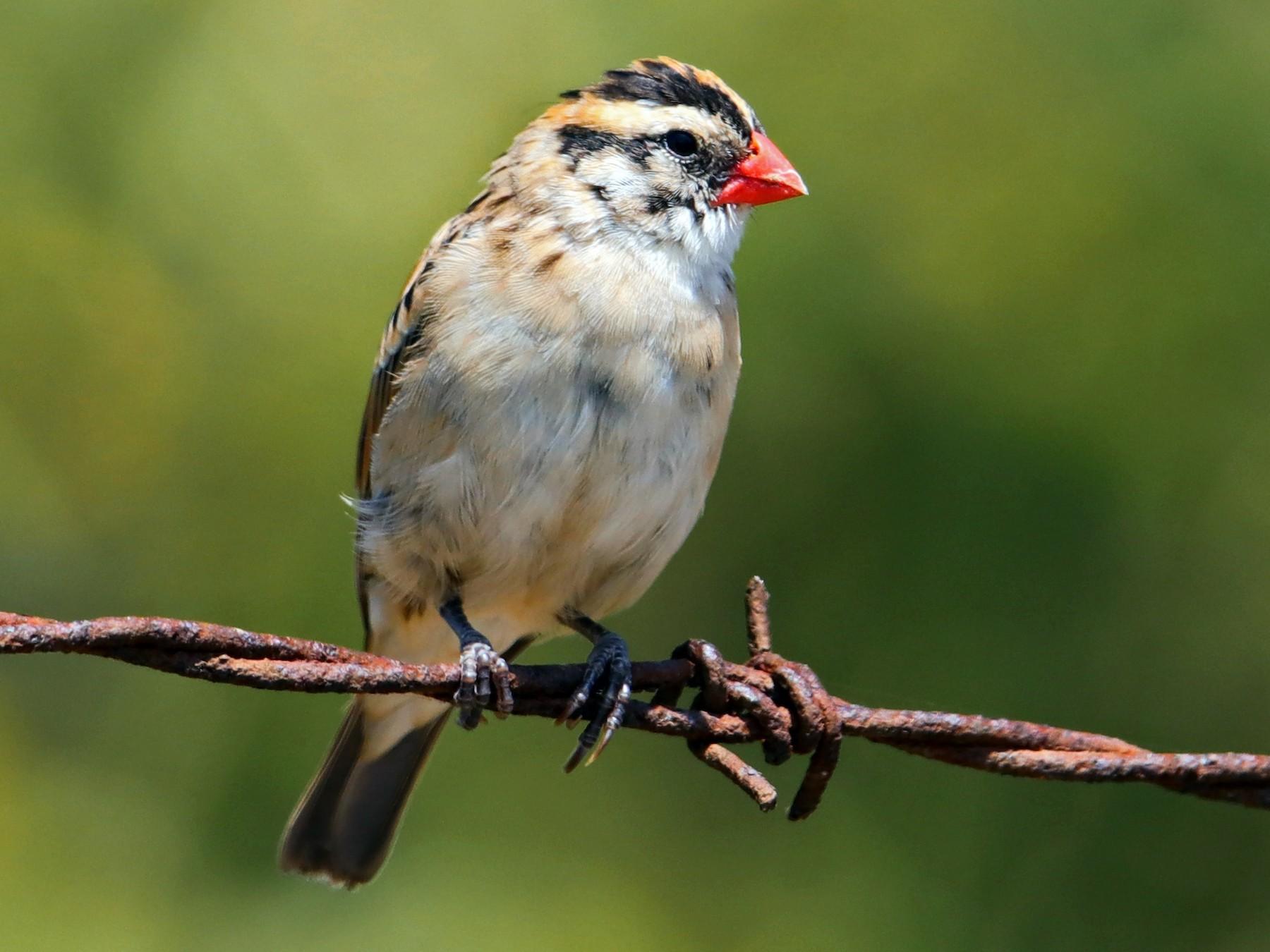 Pin-tailed Whydah - Albert Linkowski