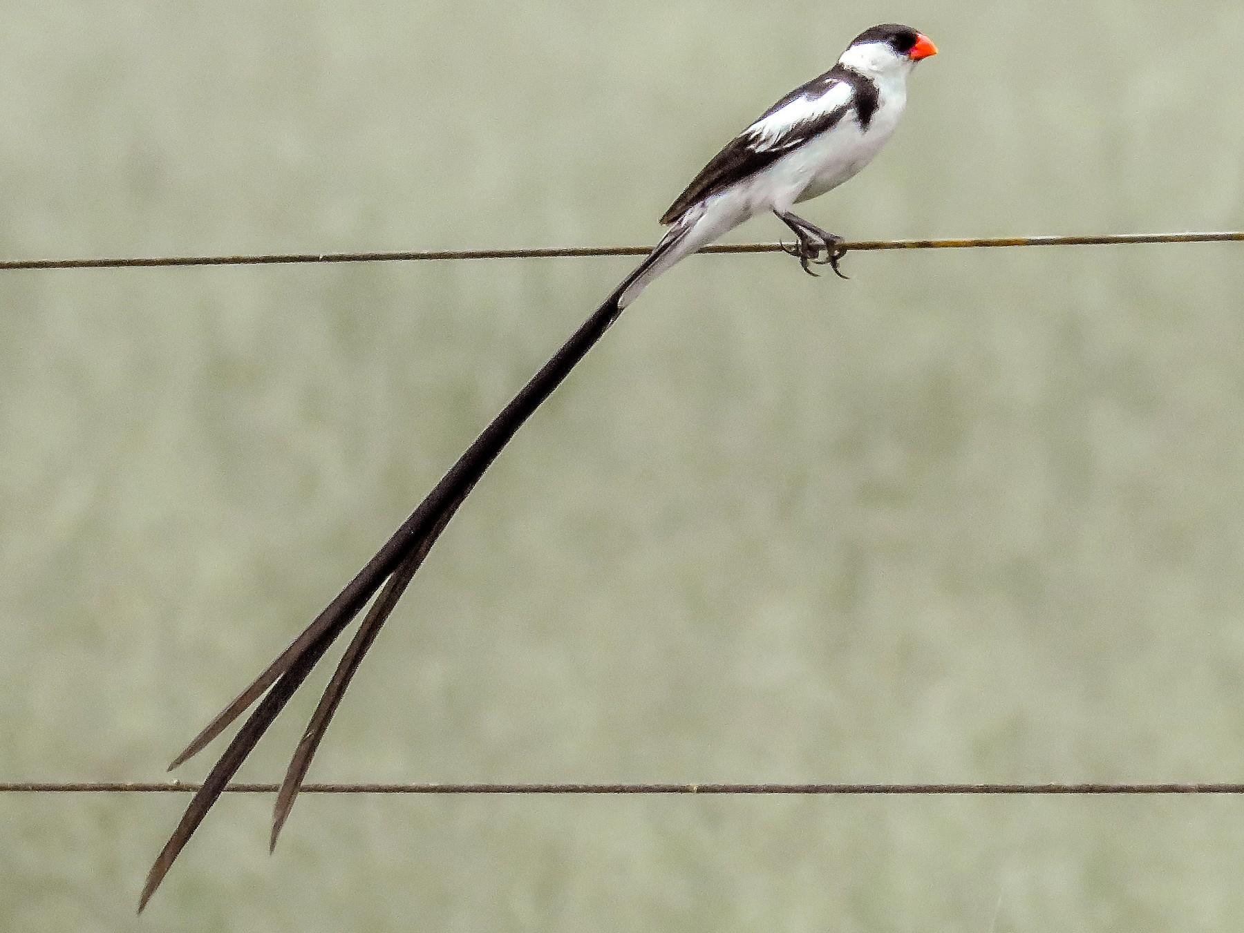 Pin-tailed Whydah - Harvey Fogel