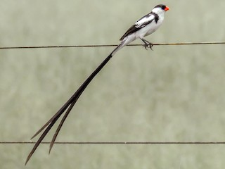 - Pin-tailed Whydah