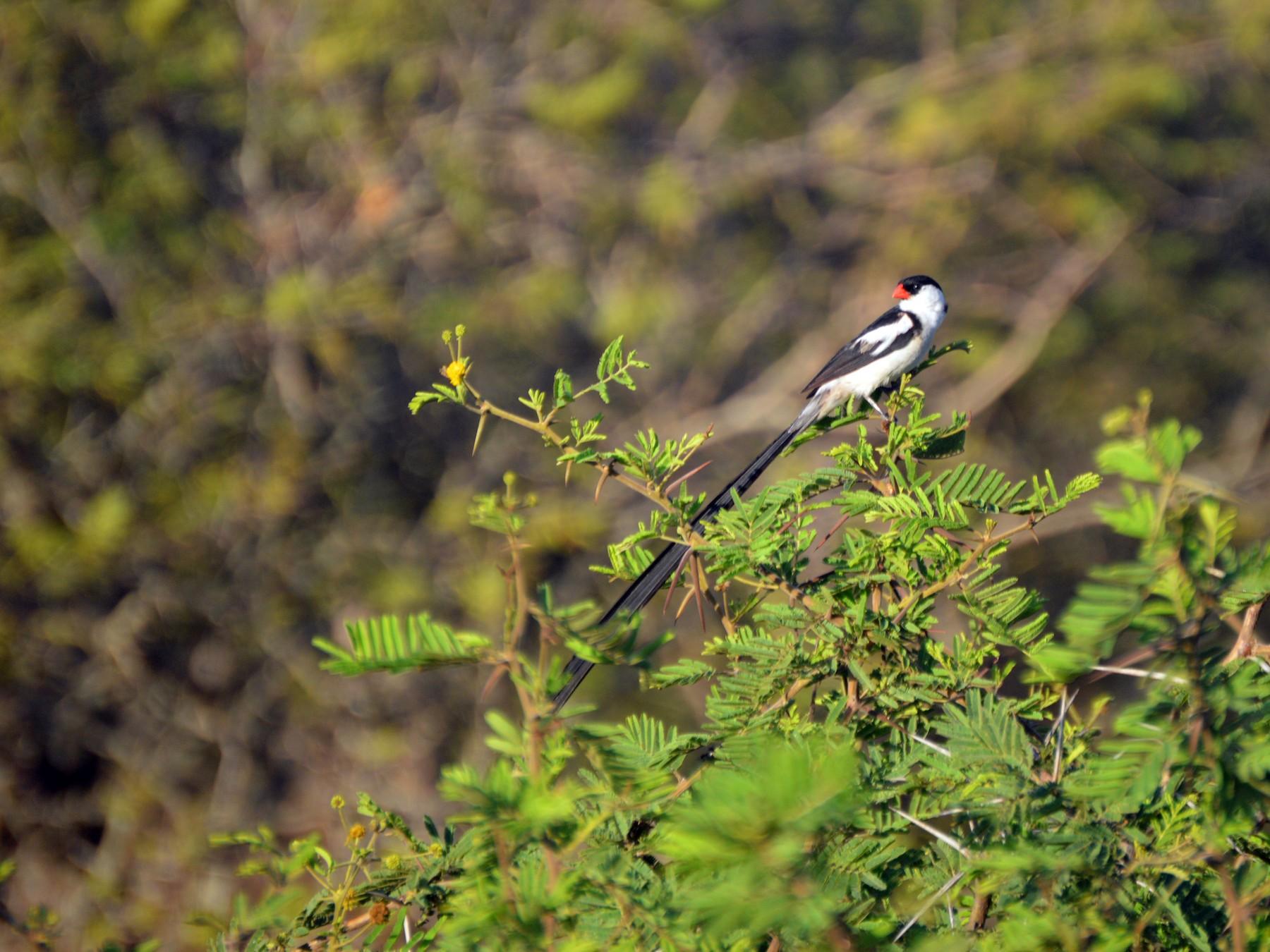 Pin-tailed Whydah - Christopher Gilbert