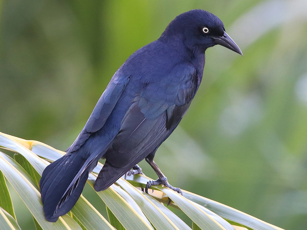 Greater Antillean Grackle - Tim Avery