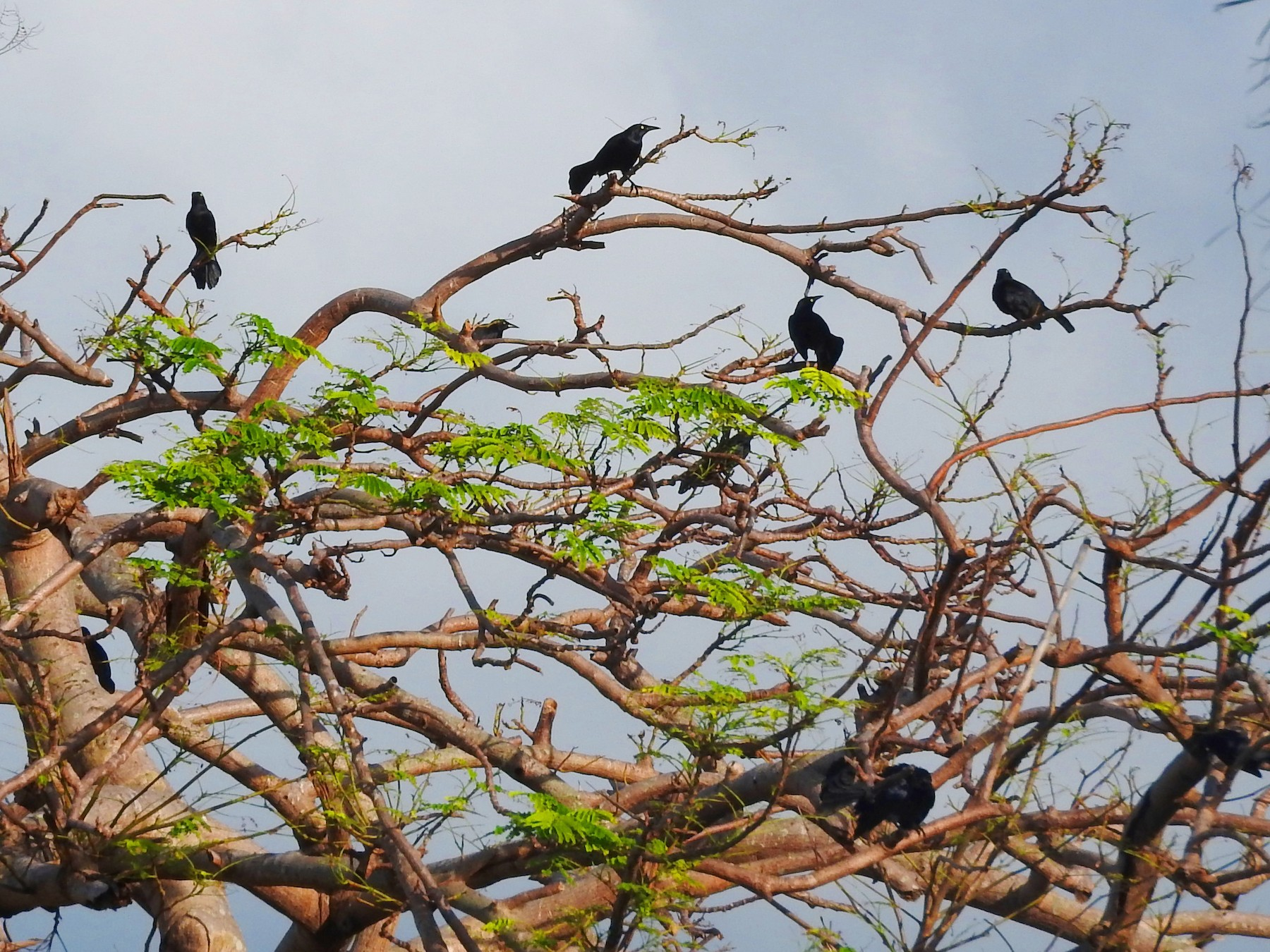 Greater Antillean Grackle - Eric Haskell